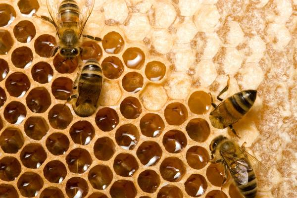 Time is honey: Predicting future honey harvests using remote sensing and weather data